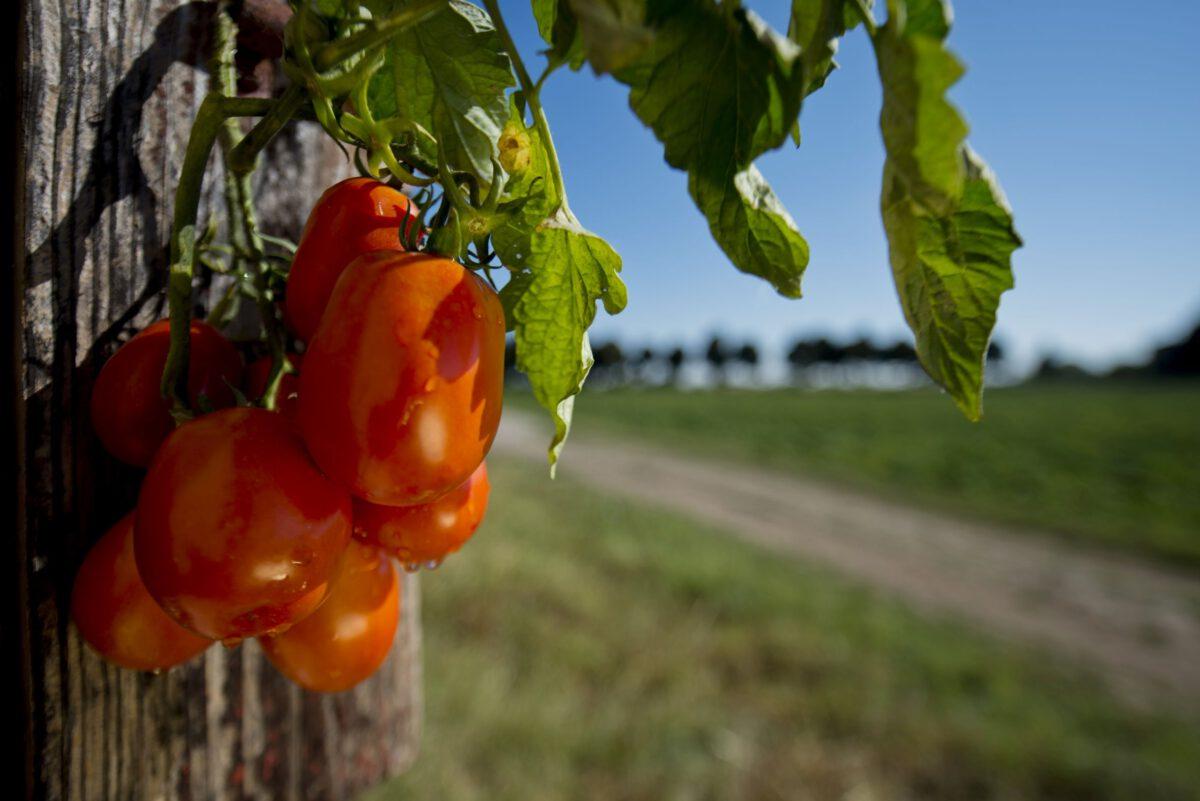 Mutti goes Digital - Tag der Tomate